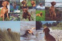 Wenters_vizsla_collage_2011_1