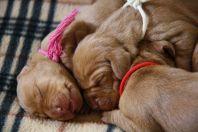 pups 1week oud 7