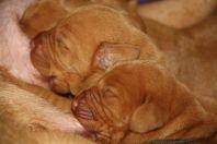 pups 1week oud 8